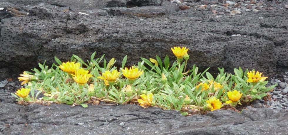vista verde azores_Azoren_Pflanzen_Blumen_Mittagsblume