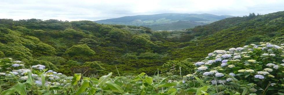 Faial_Landschaft mit Hortensien