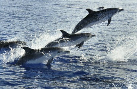springende Delfine